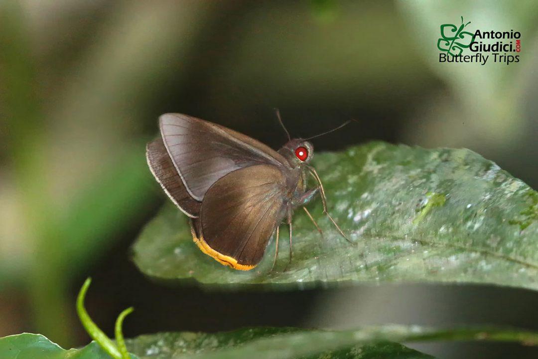 The Fringed Redeyeผีเสื้อตาแดงขลิบส้มMatapa cresta