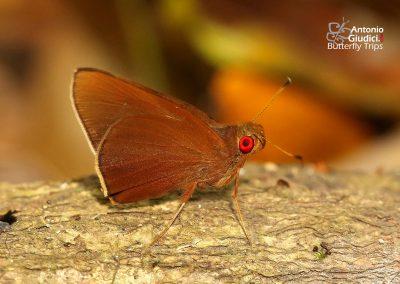 The Grey-branded Redeyeผีเสื้อตาแดงแถบเพศเข้มMatapa druna