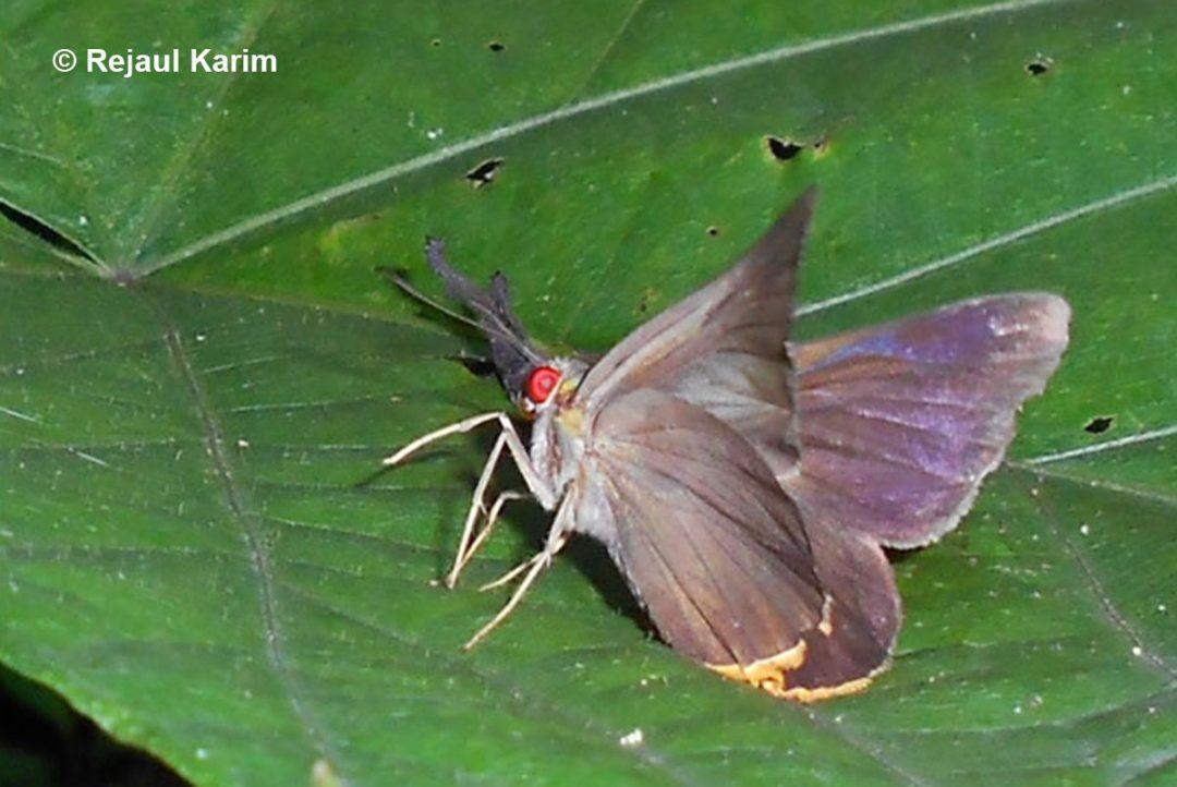 The Purple Branded Redeyen/aMatapa purpurascens
