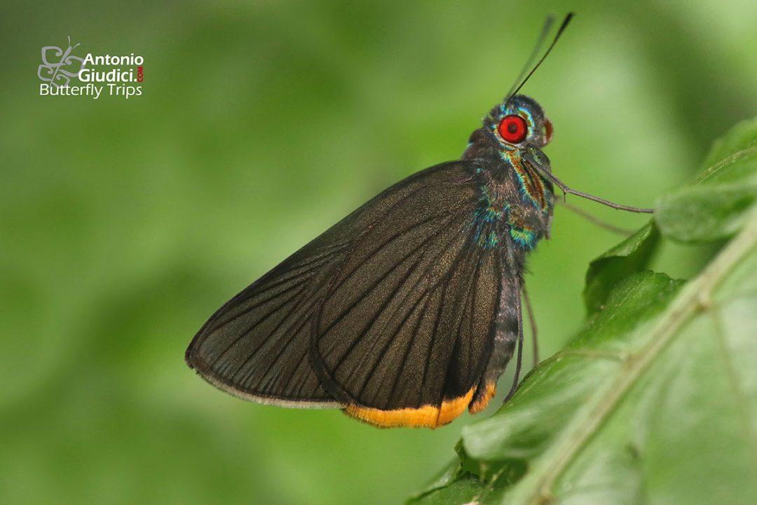 The Green-Redeyeผีเสื้อตาแดงโคนขนเขียวMatapa sasivarna