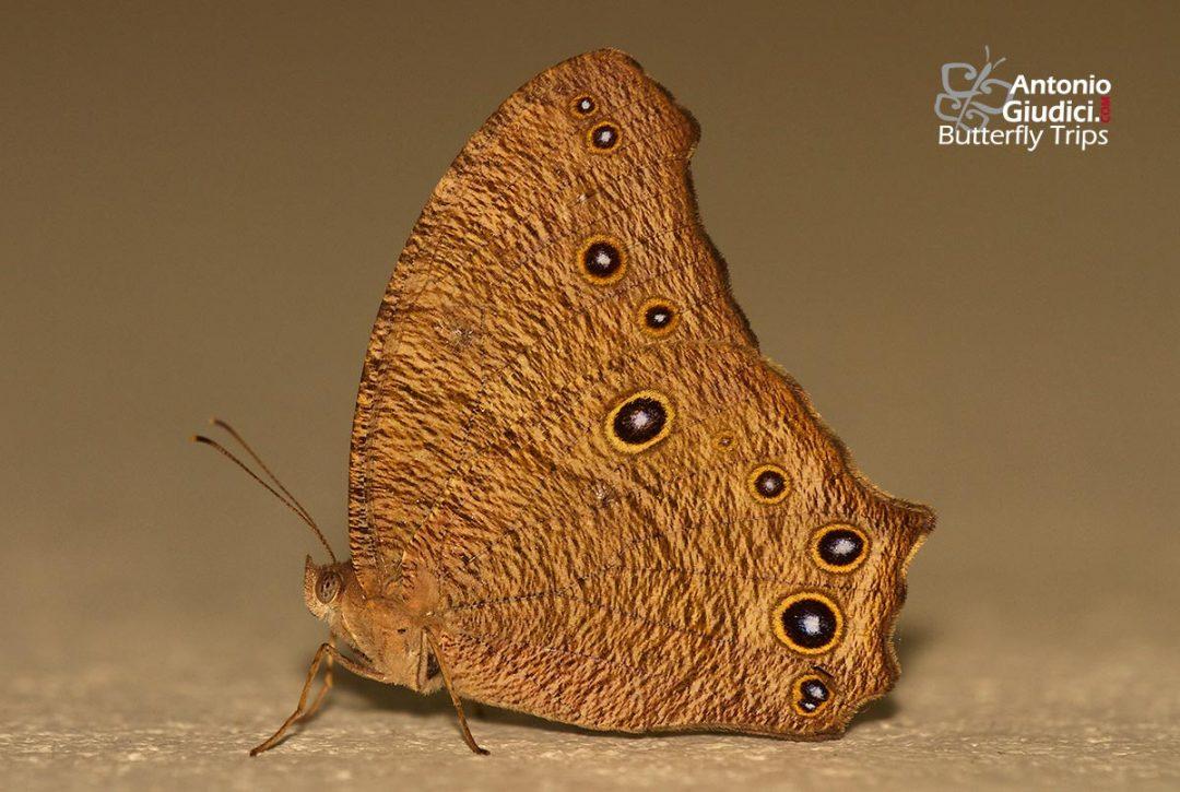 The Common Evening Brownผีเสื้อสายัณห์สีตาลธรรมดาMelanitis leda