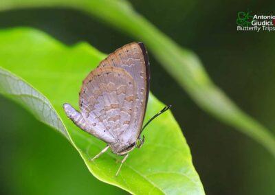 The Biggs' Brownieผีเสื้อหนอนกินเพลี้ยปักษ์ใต้Miletus biggsii