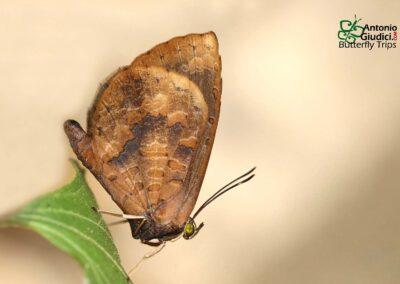 The Plain Brownieผีเสื้อหนอนกินเพลี้ยป่าต่ำMiletus croton