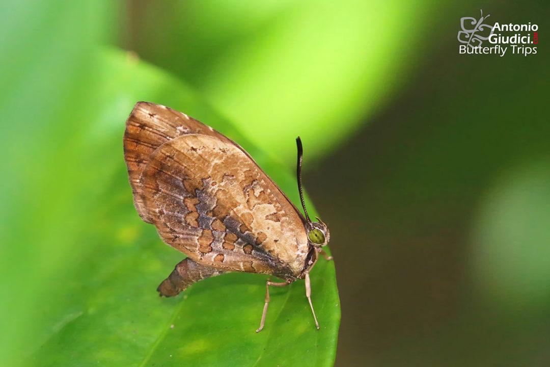The Extended Brownieผีเสื้อหนอนกินเพลี้ยแถบต่อMiletus gallus