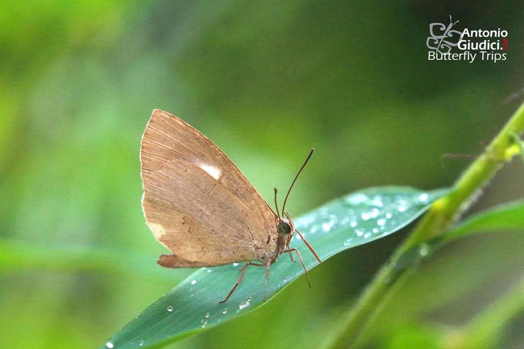 The Narrow-banded Brownieผีเสื้อหนอนกินเพลี้ยแถบแคบMiletus mallus