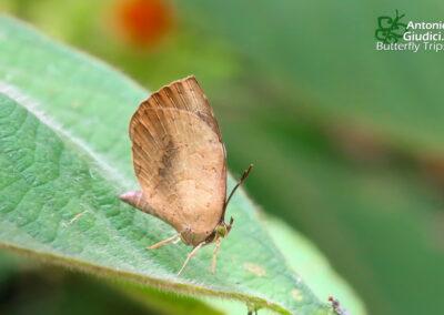 The Great Brownieผีเสื้อหนอนกินเพลี้ยใหญ่Miletus symethus