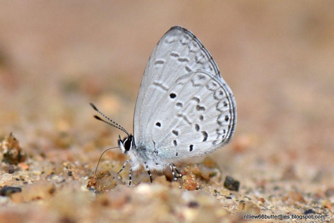 The Swinhoe's Hedge Blueผีเสื้อฟ้าพุ่มสวินโฮMonodontides musina