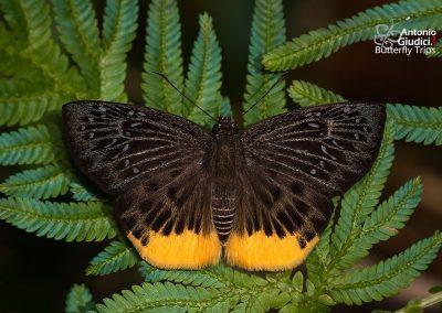The Yellow Flat ผีเสื้อเชิงเหลือง Mooreana trichoneura