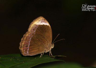 The Large White-bar Bushbrownผีเสื้อตาลพุ่มแถบขาวใหญ่Mycalesis anaxioides