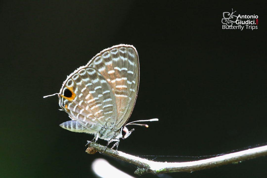 The Jewel Fourline Blueผีเสื้อฟ้าขีดสี่ประกายNacaduba sanaya