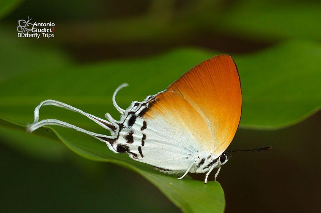 The Common Grand Imperialผีเสื้อหางริ้วอมฤตธรรมดาNeocheritra amrita