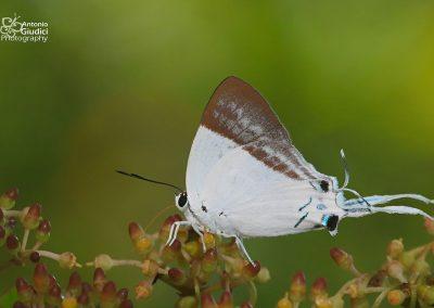 The Pale Grand Imperialผีเสื้อหางริ้วอมฤตสีจางNeocheritra fabronia
