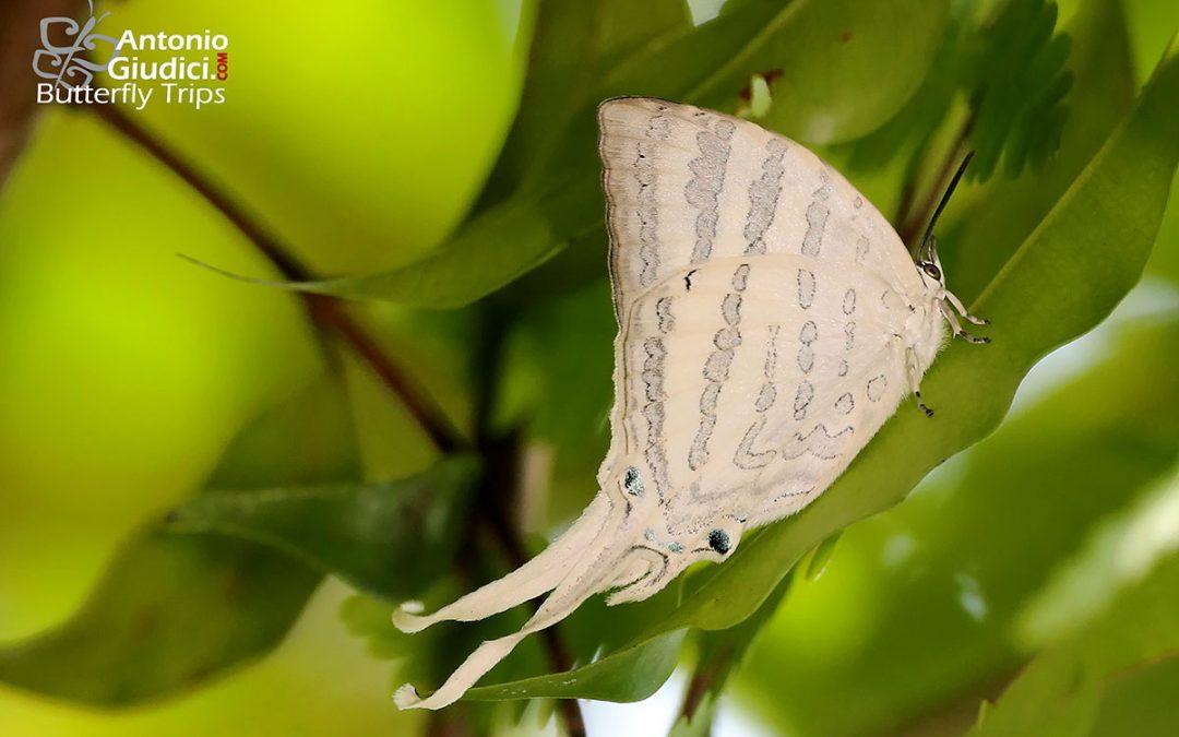 The White Imperialผีเสื้อหางริ้วขาวใหญ่Neomyrina nivea