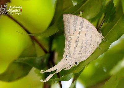 The White Imperialผีเสื้อหางริ้วขาวใหญ่Neomyrina hiemalis
