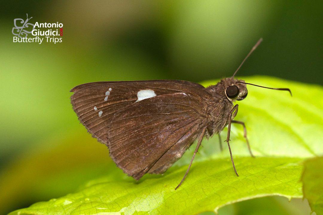 The Restricted Demonผีเสื้อนิลวรรณปีกแถบยาวNotocrypta curvifascia