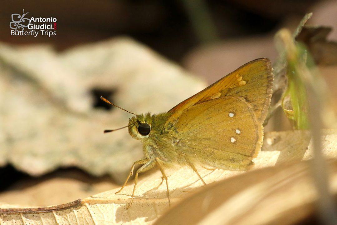 The Burmese Forest Darterผีเสื้อบินเร็วป่าพม่าOchlodes siva