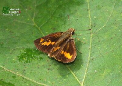 The Ceylon Dartletผีเสื้อหนวดหอกศรีลังกาOriens goloides