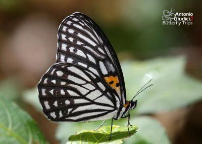 The Tigerbrownผีเสื้อตาลลายเสือOrinoma damaris