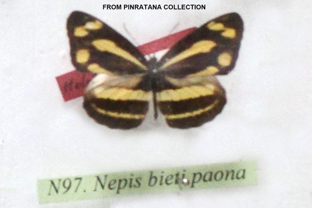 The Lesser Yellow Sailorผีเสื้อกะลาสีเหลืองเล็กPantoporia bieti