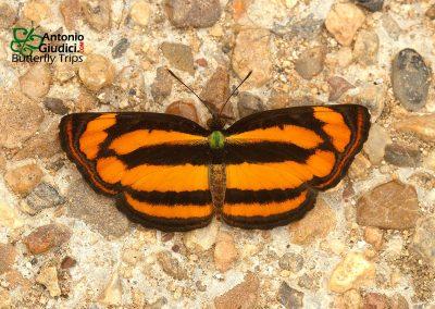 The Common Lascarผีเสื้อกะลาสีแสดธรรมดาPantoporia hordonia