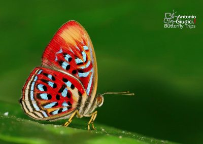 The Common Red Harlequinผีเสื้อชาดจุดขาวธรรมดาParalaxita telesia