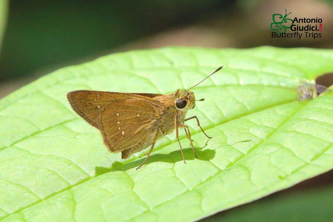The Bengal Swiftผีเสื้อบินเร็วเบงกอลPelopidas agna