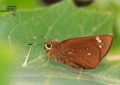 The Great Swiftผีเสื้อบินเร็วอัสสัมPelopidas assamensis