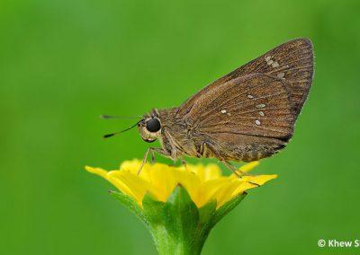 The Conjoined Swiftผีเสื้อหนอนม้วนใบข้าวจุดติดPelopidas conjunctus