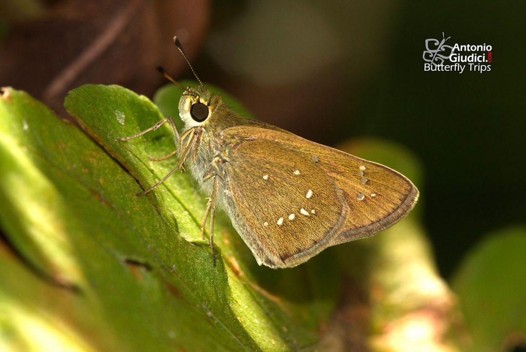 The Small Branded Swiftผีเสื้อหนอนม้วนใบข้าวแถบเพศเล็Pelopidas mathias