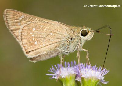 The Large Branded Swiftผีเสื้อบินเร็วแถบเพศใหญ่Pelopidas subochracea
