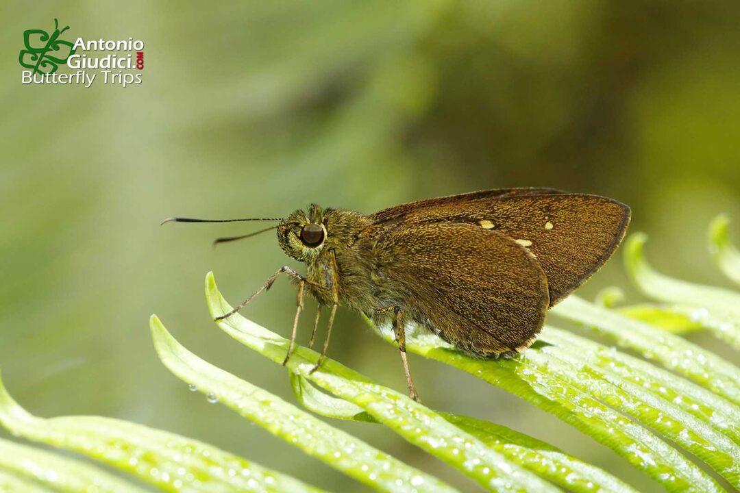 The Long-spot Darterผีเสื้อบินเร็วลายจุดยาวPemara pugnans