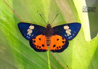 The Orange Flat ผีเสื้อปีกราบส้ม Pintara pinwilli