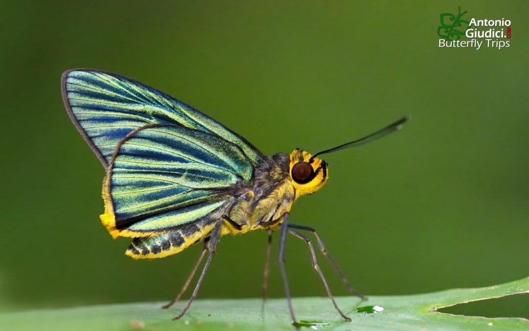 The Green-striped Palmerผีเสื้อปาล์มลายเขียวPirdana hyela