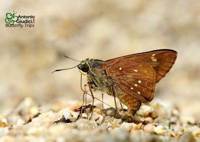 The Branded Straw Aceผีเสื้อโคนปีกขนแถบเพศPithauria marsena