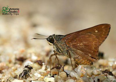 The Dark Straw Aceผีเสื้อโคนปีกขนสีเข้มPithauria murdava