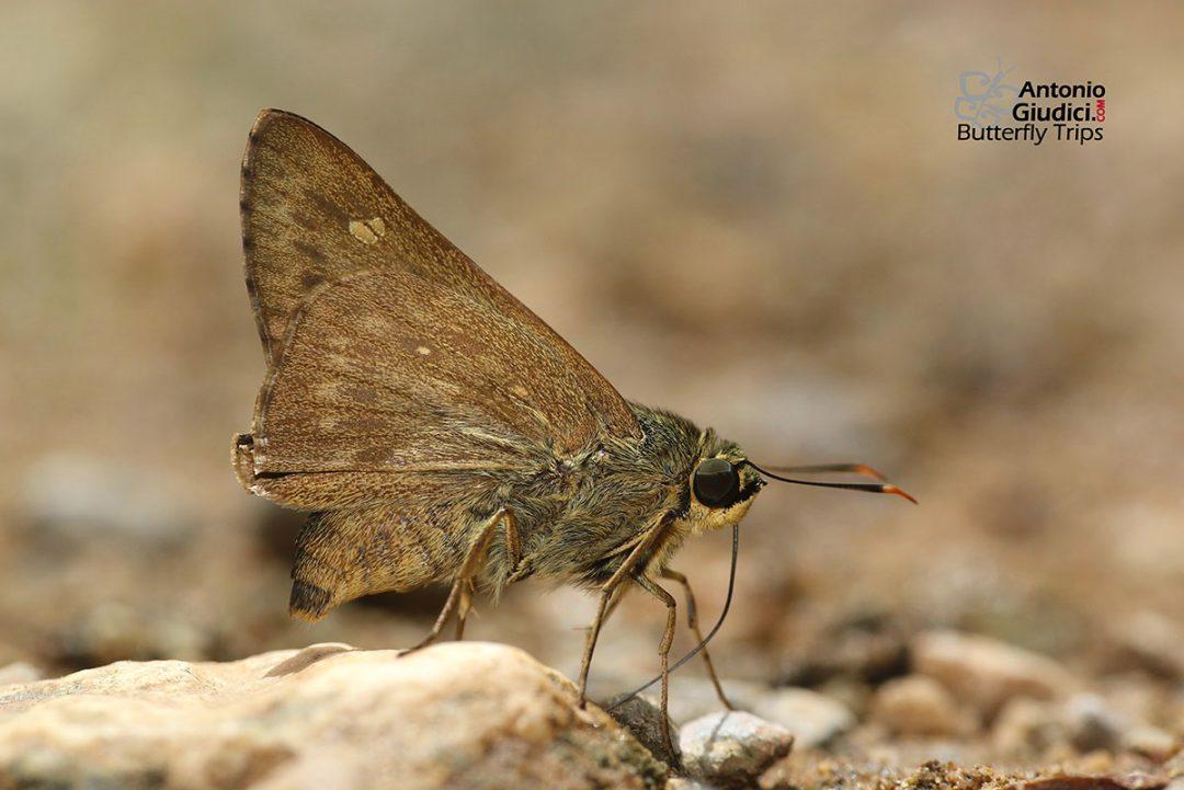 The Light Straw Aceผีเสื้อโคนปีกขนสีจางPithauria stramineipennis