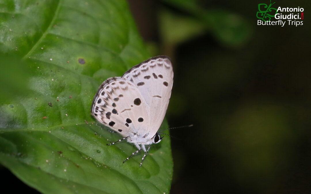 The Dark-bordered Hedge Blueผีเสื้อฟ้าพุ่มขอบปีกกว้างPlautella cossaea