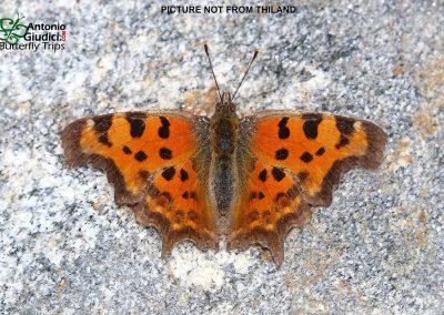 The Himalayan Commaผีเสื้อปีกเว้าหิมาลัยPolygonia c-album