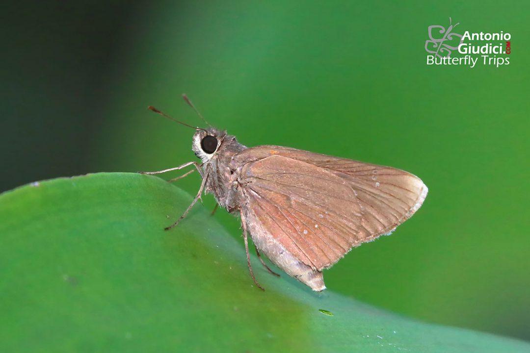 The White-tipped Swiftผีเสื้อหนวดพู่ปลายปีกขาวPolytremis annama