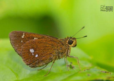 The Himalayan Swiftผีเสื้อหนวดพู่หิมาลัยZenonoida discreta
