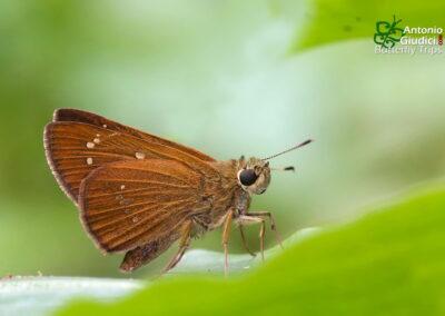 The Contiguous Swiftผีเสื้อหนวดพู่จุดชิดPolytremis lubricans