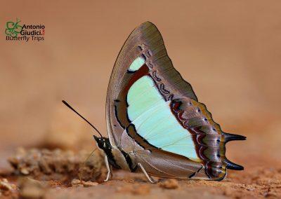 The Pallid Nawabผีเสื้อม้าเขียวแถบจางCharaxes arja
