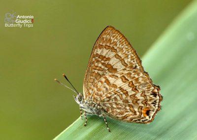 The Common Gemผีเสื้อมรกตธรรมดาPoritia hewitsoni