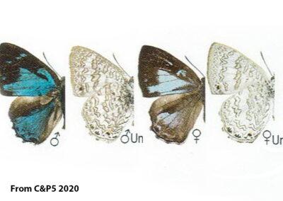 The Bicoloured Gemผีเสื้อมรกตสองสีPoritia manilia