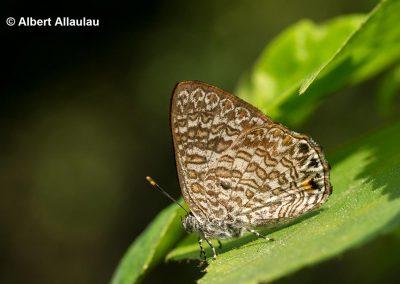 The Indian Green Gemผีเสื้อมรกตเขียวอินเดียPoritia pleurata