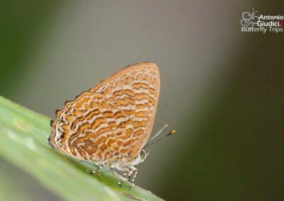 The Sumatran Gemผีเสื้อมรกตสุมาตราPoritia sumatrae