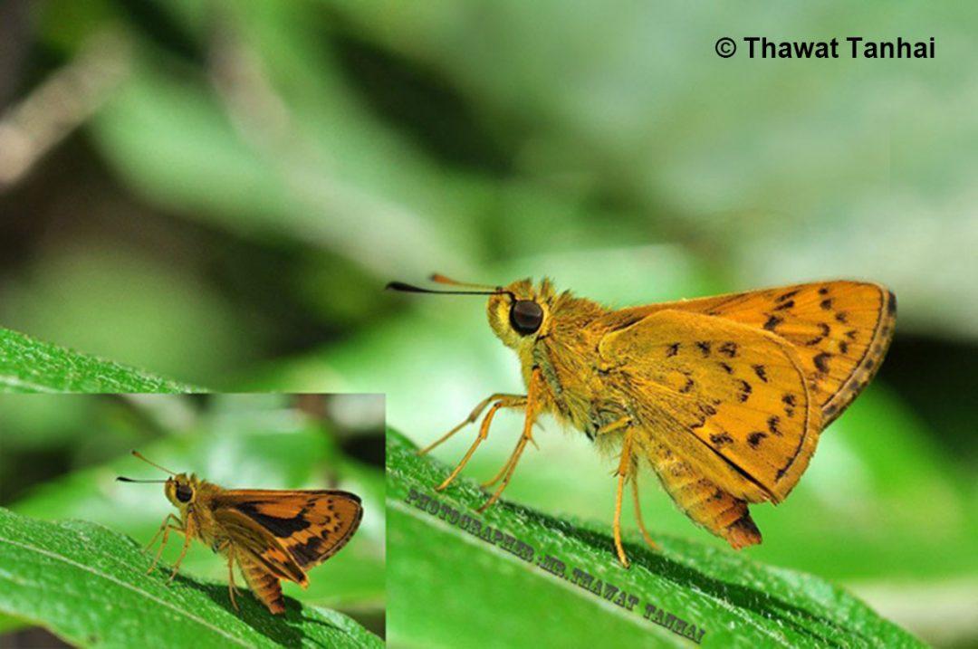 The Golden Dartผีเสื้อหนอนหญ้าสีทองPotanthus flava