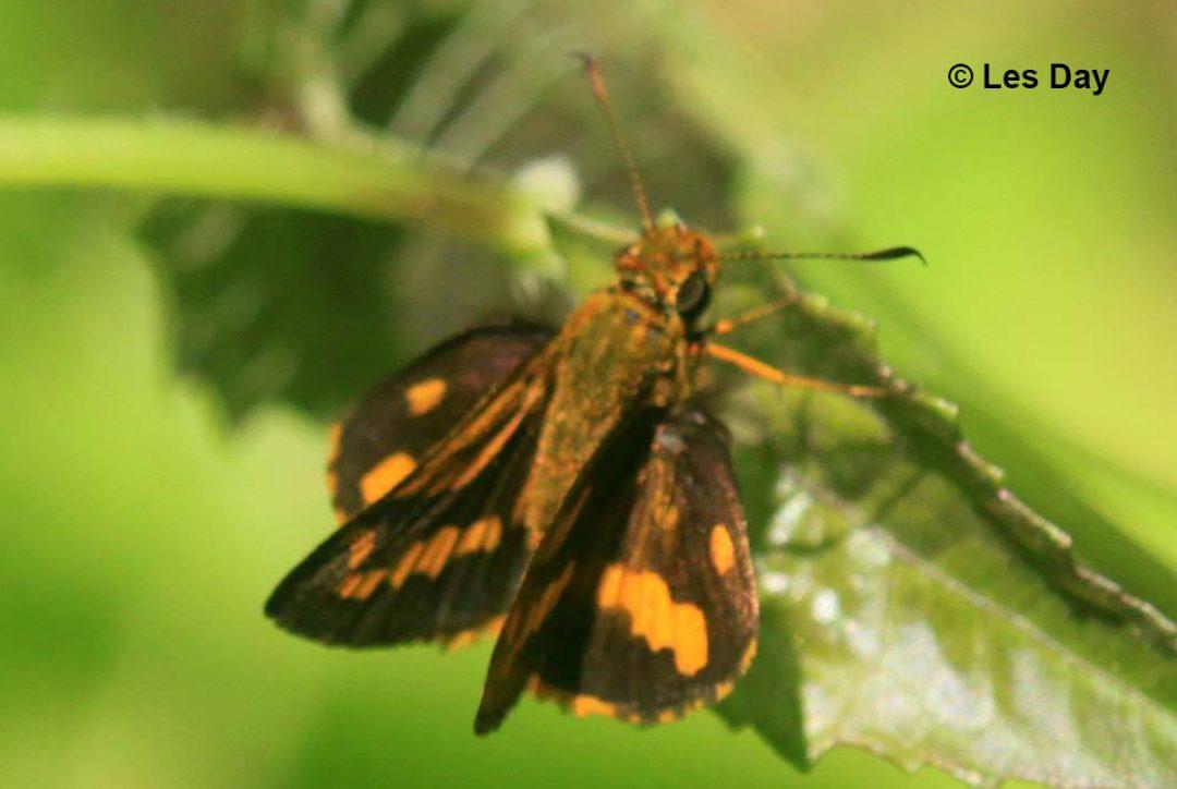 The Overlapped Dartผีเสื้อหนอนหญ้าจุดซ้อนPotanthus juno
