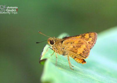 The Bush Dartผีเสื้อหนอนหญ้าพุ่มไม้Potanthus palnia