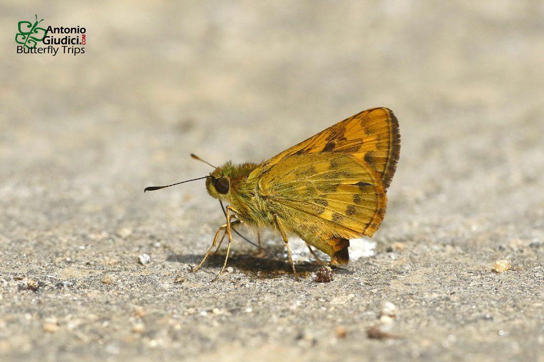 The Formosan Dartผีเสื้อหนอนหญ้าใต้หวันPotanthus pava